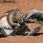 Ground Squirrel seen on safari with Okavango Expeditions