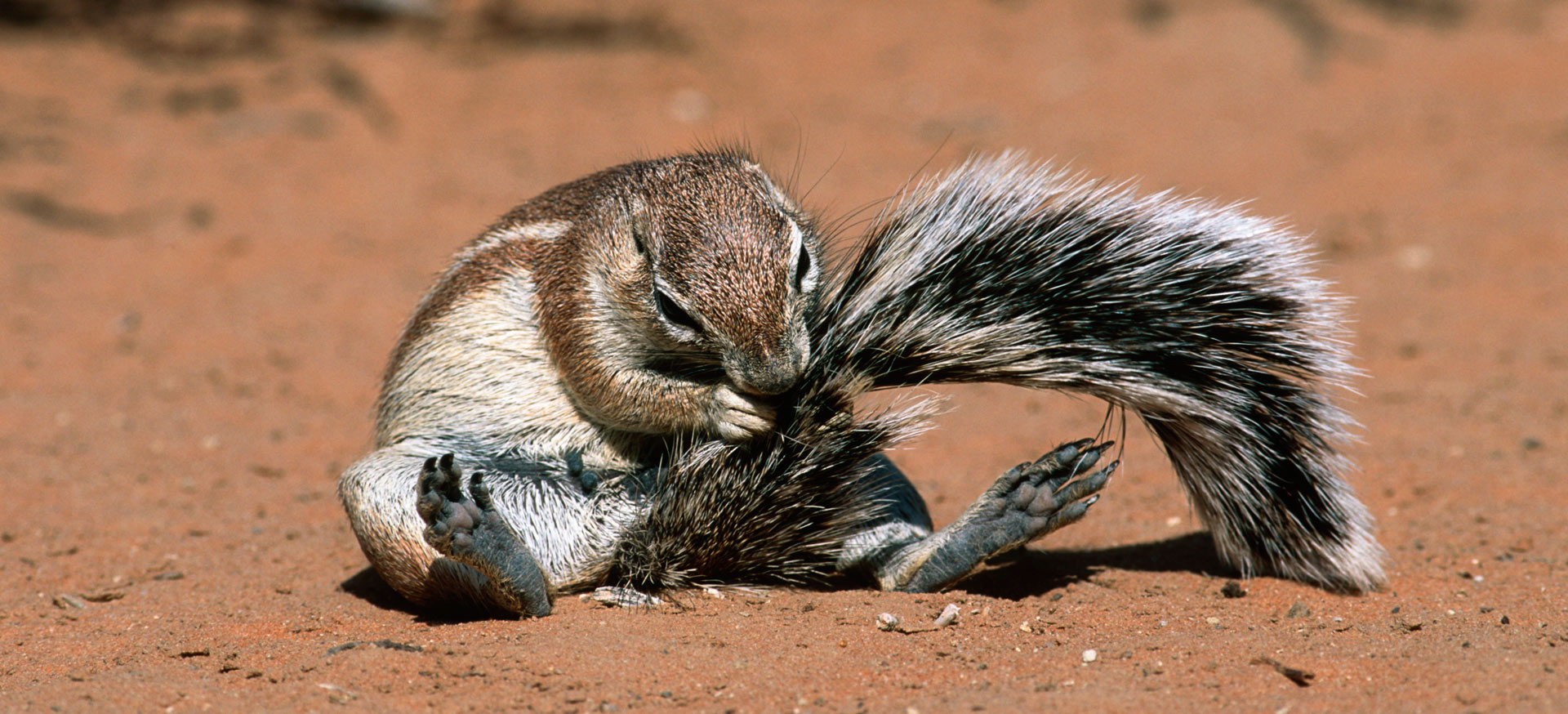 Ground Squirrel seen on safari with Okavango Expeditions