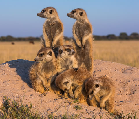 We visited meerkats whilst on safari with Okavango Expeditions