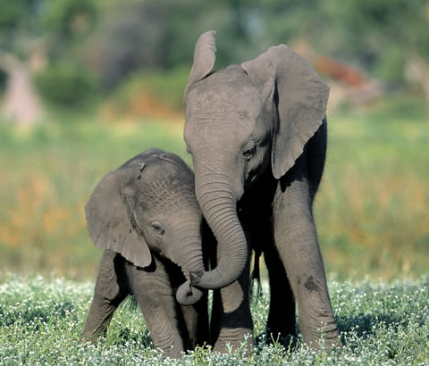 Elephant calves seen whilst on a mobile safari with Okavango Expeditions