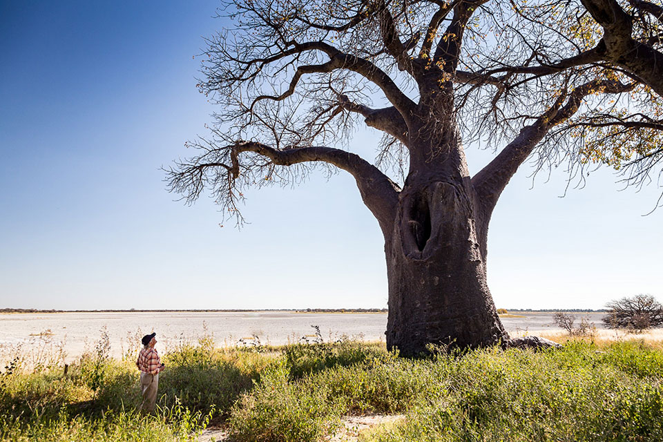 Visiting Baines Baobabs on safari with Okavango Expeditions