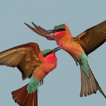 Bee-eaters photographed whilst on an Okavango Expeditions safari