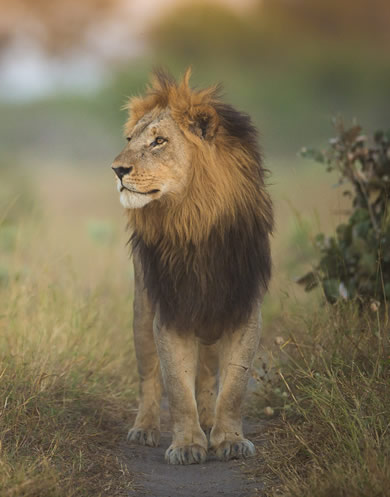 Male lion photographed with Okavango Expeditions