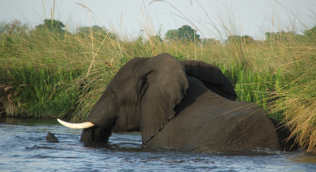 Swimming elephant, okavango delta