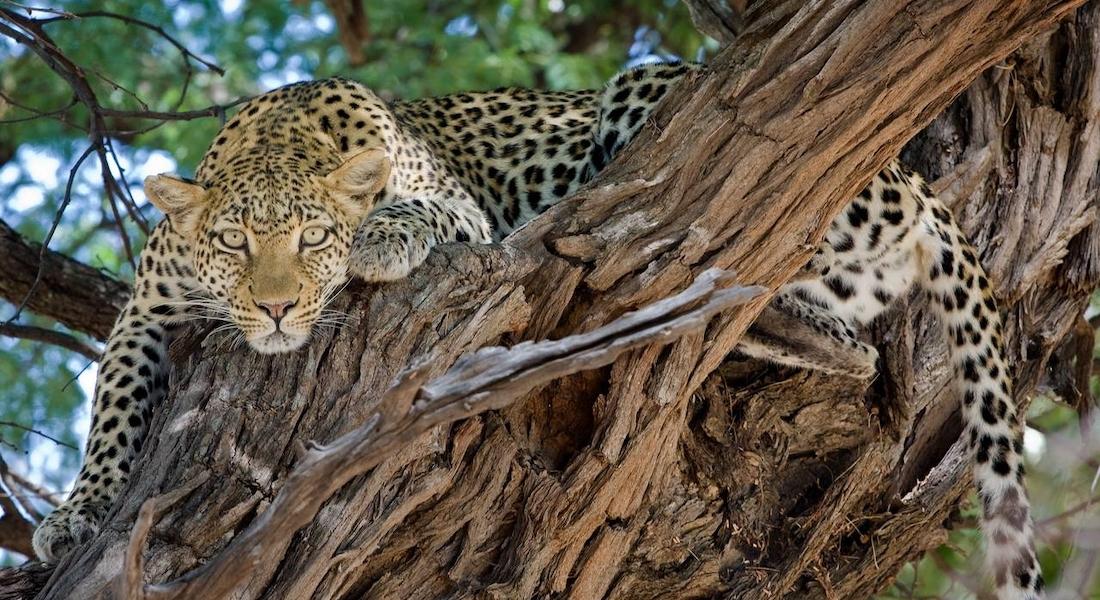 leopard, okavango delta