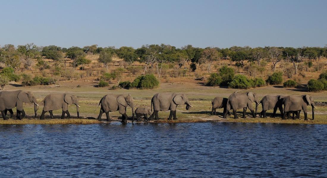 elephants at chobe national park