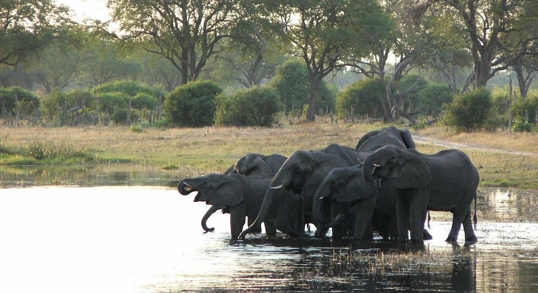 ele herd river, moremi